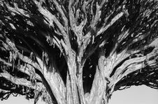 Free Oldest Draco Tree Close-Up Royalty Free Stock Images - 4037409