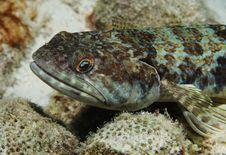 Free Lizardfish Royalty Free Stock Photo - 4038515