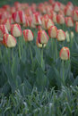 Free Red And Yellow Striped Tulips Royalty Free Stock Photos - 40385938
