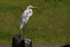 Little Egret Standing On The Rock Stock Photography