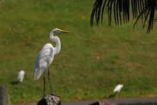 Little Egret Standing On The Rock Royalty Free Stock Image