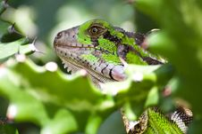 Free The Lizard Royalty Free Stock Images - 4045839