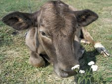 Free Young Cow Stock Image - 4046401