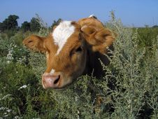 Free Young Cow Stock Photo - 4046410
