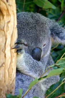 Free Koala Bear Stock Images - 4046454