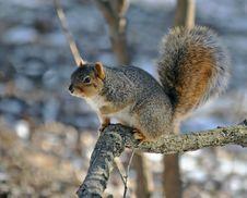 Fox Squirrel Royalty Free Stock Photo