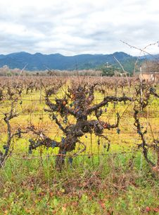 Free Vineyard With Grapes In Winter Royalty Free Stock Image - 4048786