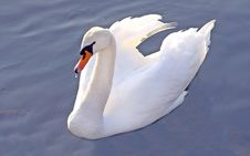 Free Swan Stock Photos - 4048953