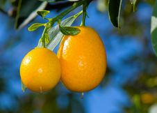 Free Home Grown Kumquat Royalty Free Stock Images - 4049579