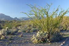 Free Ocotillo Cactus Royalty Free Stock Photos - 4049948