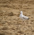 Free Seagull Seagull Stock Images - 4050654