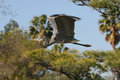 Free Great Blue Heron Flying. Stock Photography - 4051412