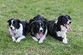 Free Border Collies Family Royalty Free Stock Photos - 4052948