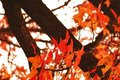 Free Autumn Maple Leaf In Nanjing China Royalty Free Stock Photos - 4053338