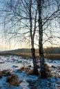Free Winter Birch-tree Stock Photo - 4055750