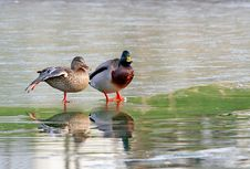 Two Mallards On A Frozen Lake. Stock Photography
