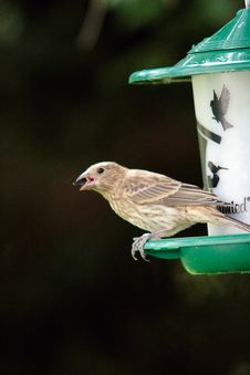 Free Finch Ona Bird Feeder. Royalty Free Stock Photos - 4050488