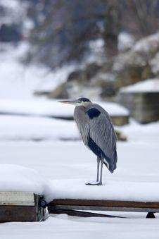 Heron On A Dock. Stock Photography