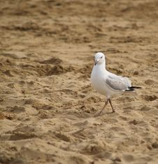 Seagull Seagull Stock Images