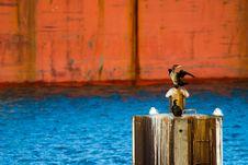 Free Great Cormorant Stock Image - 4050891