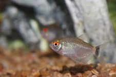 Free Red Eye Fish. Stock Photo - 4051310