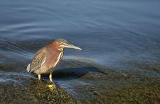 Free Black Crown Night Heron Stock Images - 4051384