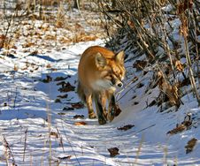 Free Red Fox 4 Royalty Free Stock Photography - 4051617