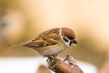 Tree Sparrow (aka Passer Montanus) Stock Photography