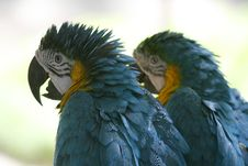 Parrots Ragged Royalty Free Stock Images