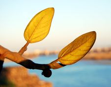 Free Two Leaves Royalty Free Stock Image - 4054046