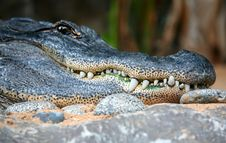 Free Alligator Stock Photography - 4055212