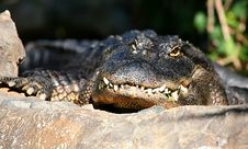Free Alligator Basking Stock Images - 4055254