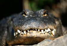 Free Head Alligator Royalty Free Stock Images - 4055279