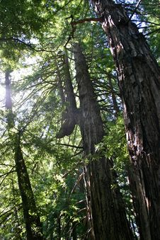 Bent Redwoods, California Stock Photo