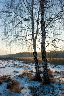 Free Winter Birch-tree Stock Photo - 4055750
