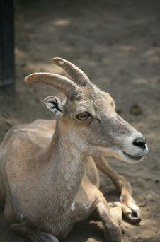 BIGHORN BABY SHEEP Stock Image