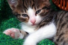 Free Kitten With Tired Look Stock Image - 4056241
