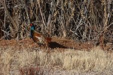 Ring-necked Pheasant Male Stock Photos