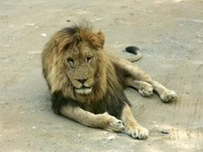 Free Lion Royalty Free Stock Image - 4057186