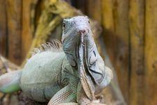 Free Lizard Royalty Free Stock Photos - 4057298