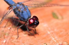 Free Blue Dragonfly Royalty Free Stock Image - 4057356