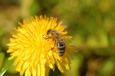 Free Honeybee On A Dandelion Stock Photos - 4057383