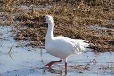 Snow Goose Royalty Free Stock Image