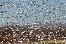 Free Snow Geese In Flight Royalty Free Stock Images - 4057689