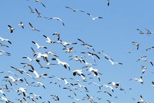 Free Snow Geese And Blue Sky Royalty Free Stock Photography - 4057717