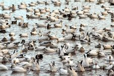 Free Flock Of Snow Geese Stock Photo - 4057770