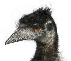 Free Emu Head Royalty Free Stock Images - 4058189