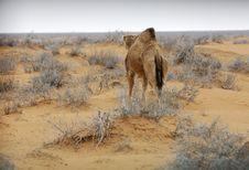 Free Camel Stock Image - 4059961