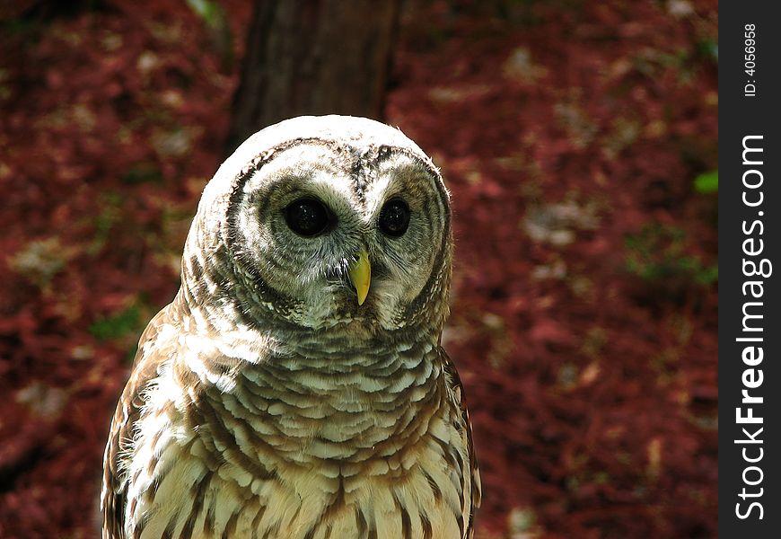 Owl of Love