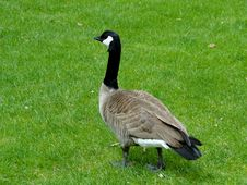 Free Canadian Goose Royalty Free Stock Photo - 40528605